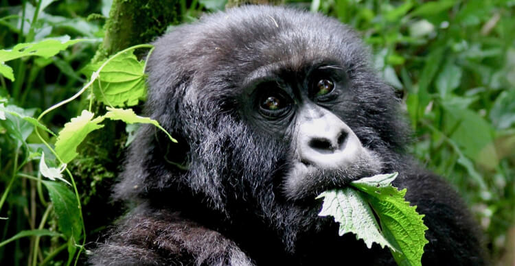 Gorille mangeant une feuille